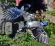 惨!两只蓝鸟为争吃食反目成仇大打出手