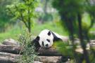 沈阳森林动物园看熊猫临时票价40元/人 这些人免费