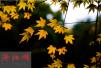雨后的隋唐城遗址植物园:枫叶渐红银杏渐黄