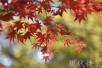 南京栖霞山红枫节开幕 红叶观赏效果5年来最佳
