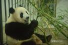 2岁熊猫第一次回国