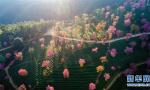 樱花谷美景如画