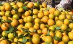 广西武鸣喜收柑橘