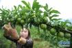 健康都是吃出来的 老中医水果养生法