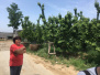 今年樱桃沟樱桃减产 果农每家损失二三万元