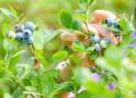 乌饭树上长蓝莓