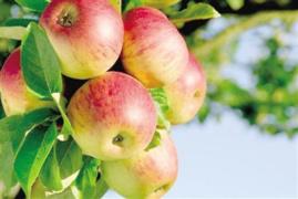 苹果期货遭游资热炒 郑商所发风险提示