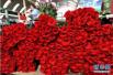 美了田园富了乡亲 山东单县种植玫瑰助增收