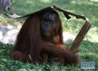 全球最老苏门答腊猩猩62岁高龄去世 后代遍布全球