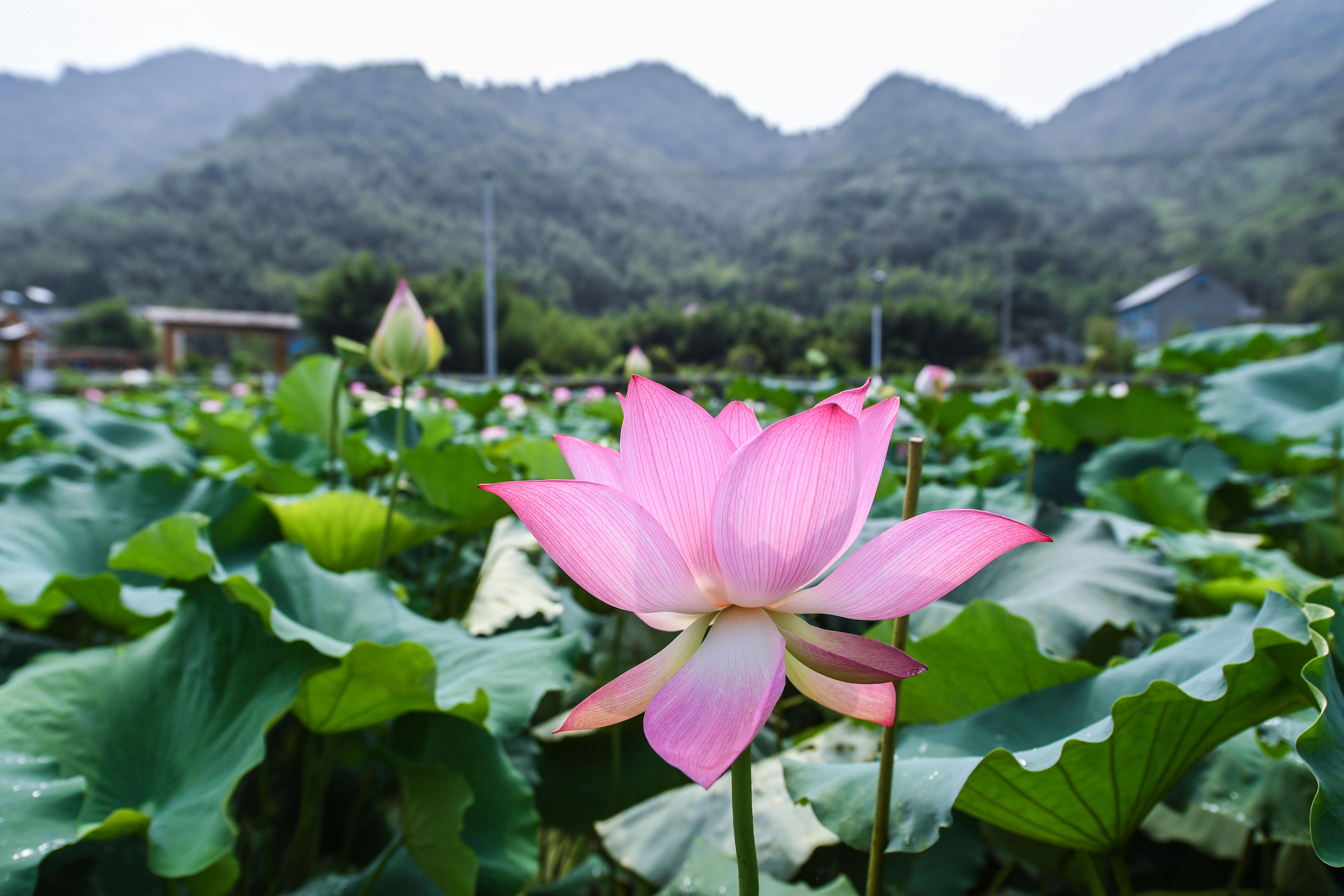 杭州临安:土地流转打造生态荷花园