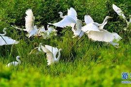 河南汝阳:生态湿地,白鹭轻舞
