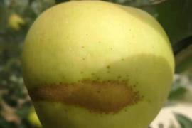 """卖水果流行""""越丑越甜""""果树专家:这是水果得病了"""