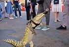 摊主街头霸气遛鳄鱼