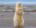 跟着我左手右手一个慢动作!北极熊秀舞姿萌翻众人