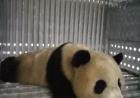 """萌化了!大熊猫""""梦梦""""""""娇庆""""赴德"""