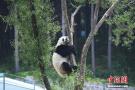 """高温来袭 长春东北虎园老虎熊猫被""""热瘫"""""""