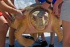 红海龟回归大自然