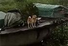 汪星人在台风中救主