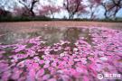 杭州雨后梅花落满地