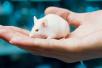为人类头部移植做准备,医生先拿小白鼠做了实验
