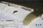三文鱼试图跳过水坝