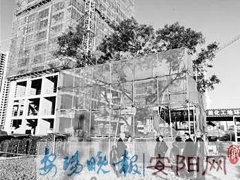 """林州600岁古树搬家 投资10万一个月""""走""""了55米"""
