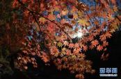 五彩斑斓 崂山九水游览区进入最佳红叶观赏期