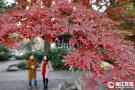 西湖片片红叶情