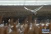 大批天鹅飞抵山东荣成大天鹅国家级自然保护区