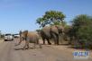 重庆导游泰国救人被大象踩踏致死:大象为何伤人?