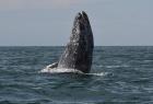 巨型灰鲸跃出海面