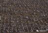 触目惊心!内蒙古800多只百灵鸟遭毒杀 雪融后再现4000只死体