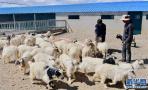 历时18年!我国北方农区首个国审肉羊新品种育成