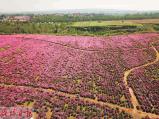 喜欢花的朋友看过来 洛阳这里千亩芍药盛开