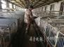 供应量增加肉价大跌 养殖户一头猪倒赔三百元