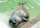 励志!海豹锻炼减肥
