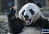 心疼!武汉大熊猫被质疑受虐待 动物园:饲养员已停职