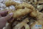 唐山:小小生姜产业 富裕一方百姓
