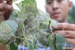 山东美国白蛾第2代孵化高峰期到来 局地有暴发成灾可能