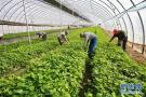 河北唐山:特色種植助增收