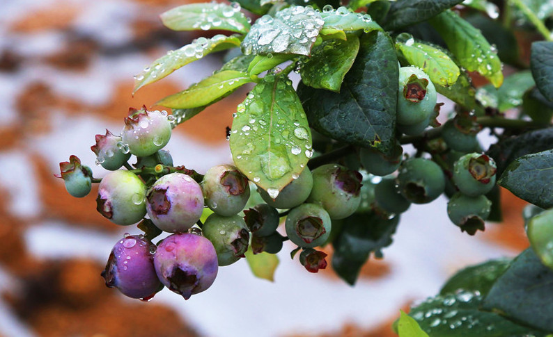 研究:每天食用蓝莓有
