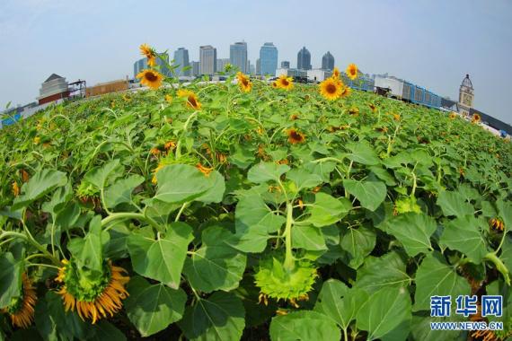 郑州:楼顶向日葵向阳开放