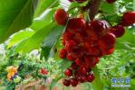 河北灤州:大櫻桃甜透果農心