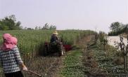 河南罗山:党建引领,艾草产业助力乡村振兴
