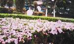 大连樱花树开始进入凋谢期 落樱缤纷 宛如鲜花地毯