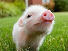 这头逃跑的猪太可怜了!哈哈