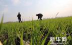 山东:小麦处于灌浆期 应加强病虫防控