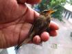 淡脚树莺鸟逃生