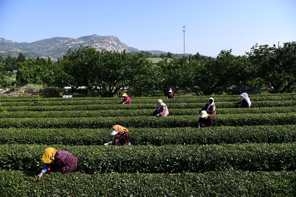 青岛:采茶崂山下