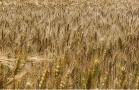 晋南小麦开镰